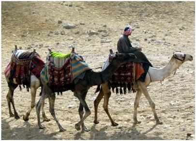 Egypti Hurghada - 3 kamelia