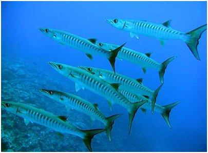 Sharm el-Shaikh Egypti - Barrakudaparvi partioi koralliriuttaa