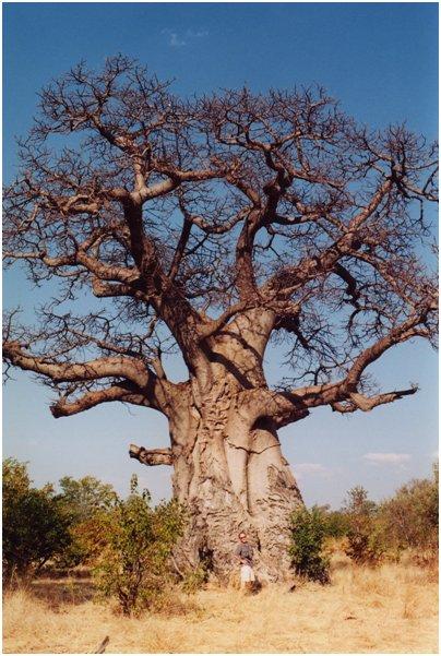 Fuengirola Zoo Baobab-puu eli apinanleipäpuu