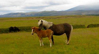 Islanninhevonen Islannin oma hevosrotu valokuva loma matka