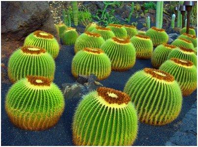 Espanja Kanariansaaret Lanzarote kaktus kasvillisuus matka kuva