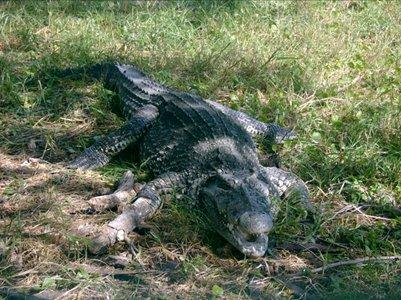 Krokotiili Cienaga de Zapatan suoalueella Kuubassa