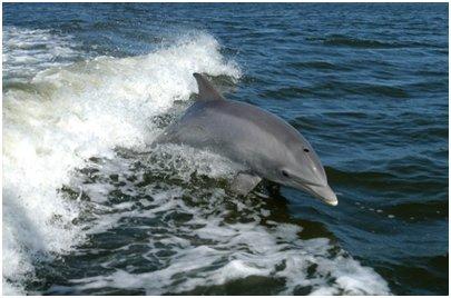 Espanja Costa Blanca Alicante pullonokkadelfiini