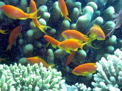 punaisen meren koralleja ja kaloja