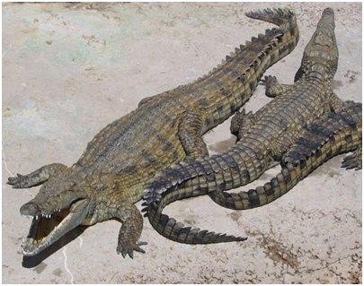 Espanja Andalusia Costa del Sol Malaga Torremolinos krokotiilipuisto