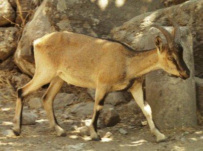 Kreetalainen villivuohi kri-kri loma kuva